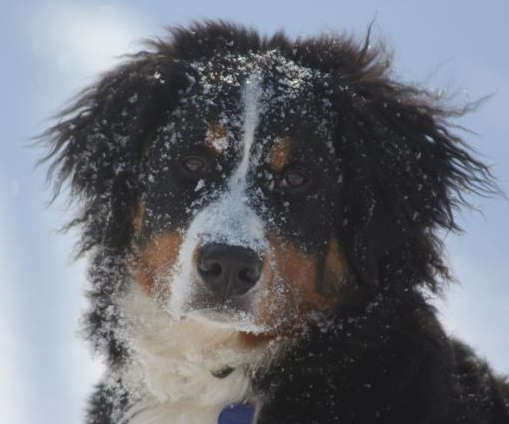 Bella with snow on her face